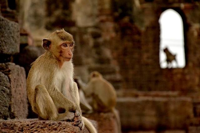 ลิง ที่ลพบุรี